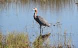 02 Merritt Island NWR Little Blue Heron (46)