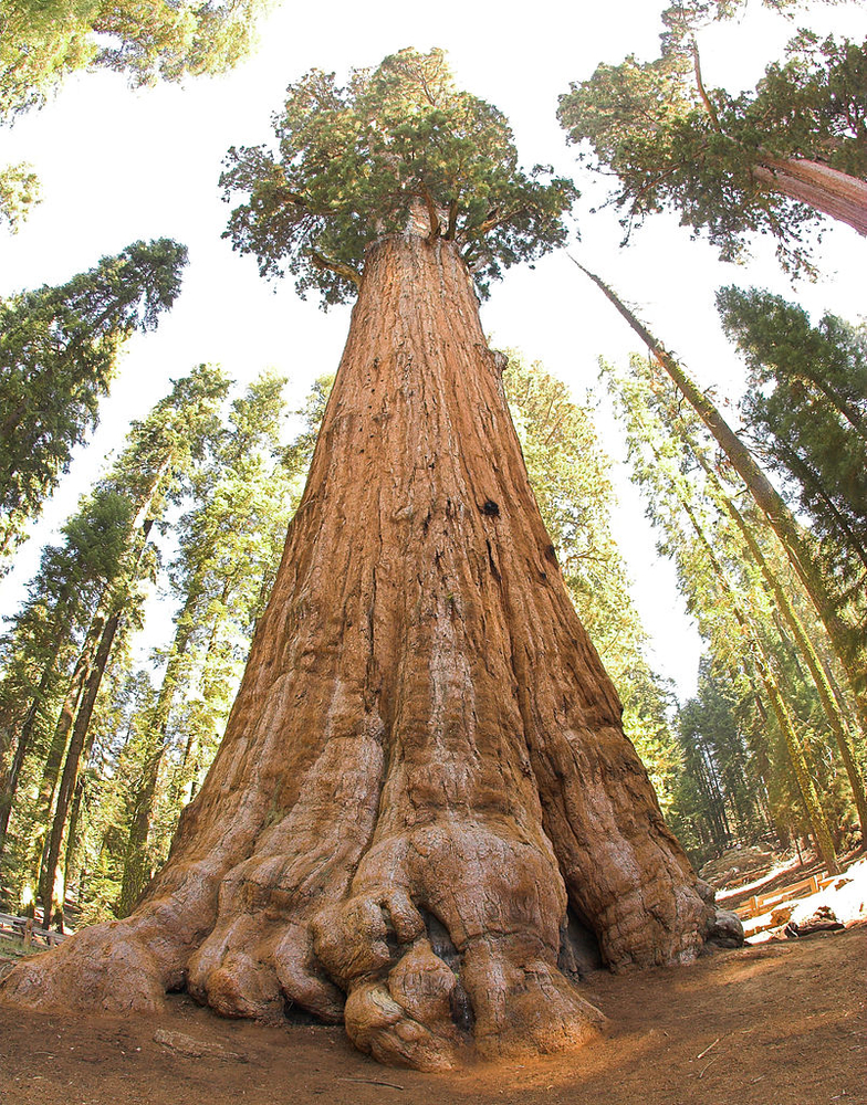 General Sherman tree, courtesy Jim Bahn and Wikimedia