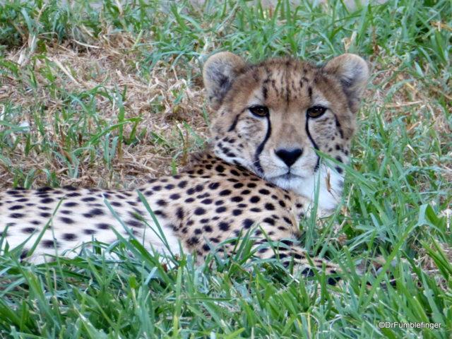 Cheetah, San Diego Zoo Safari