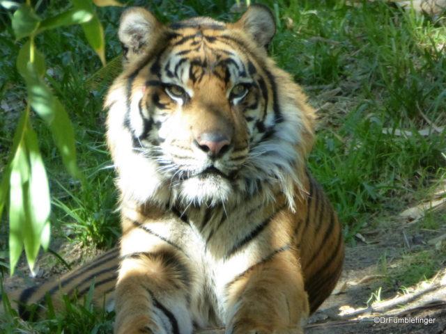 Sumatran Tiger, San Diego Zoo Safari Park