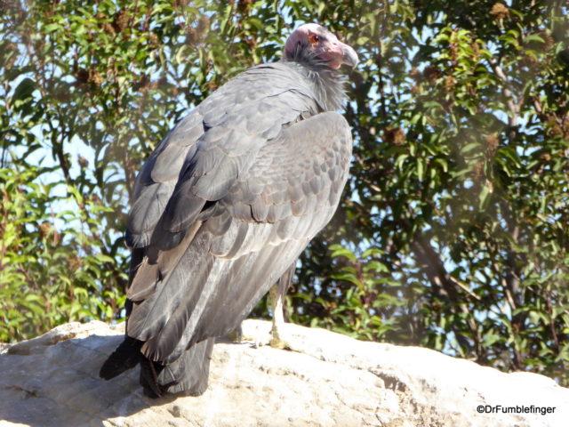 California Condor, San Diego Zoo Safari