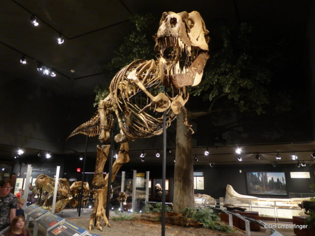 Tyrannosaurus Rex  Museum of the Rockies, Bozeman