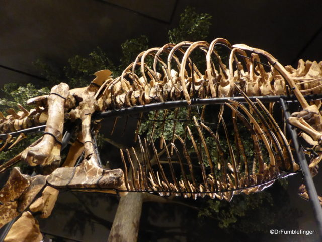 Tyrannosaurus Rex abdominal ribs. Museum of the Rockies, Bozeman