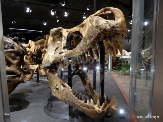 Largest Tyrannosaurus Rex skull. Museum of the Rockies, Bozeman