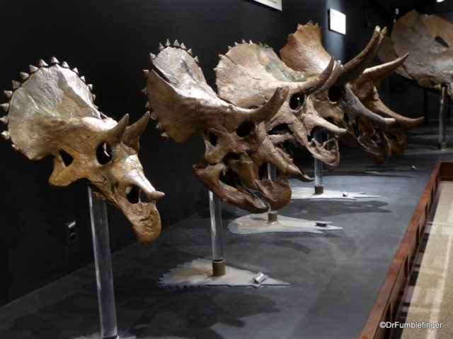 Collection of triceratops, Museum of the Rockies, Bozeman