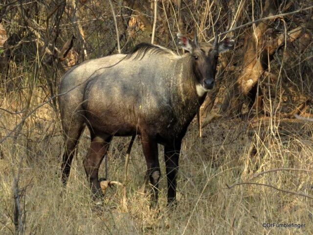 Blue Bull Antelope, Panna Tiger Reserve