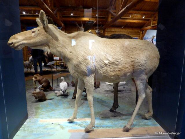 Albino Moose, MacBride Museum